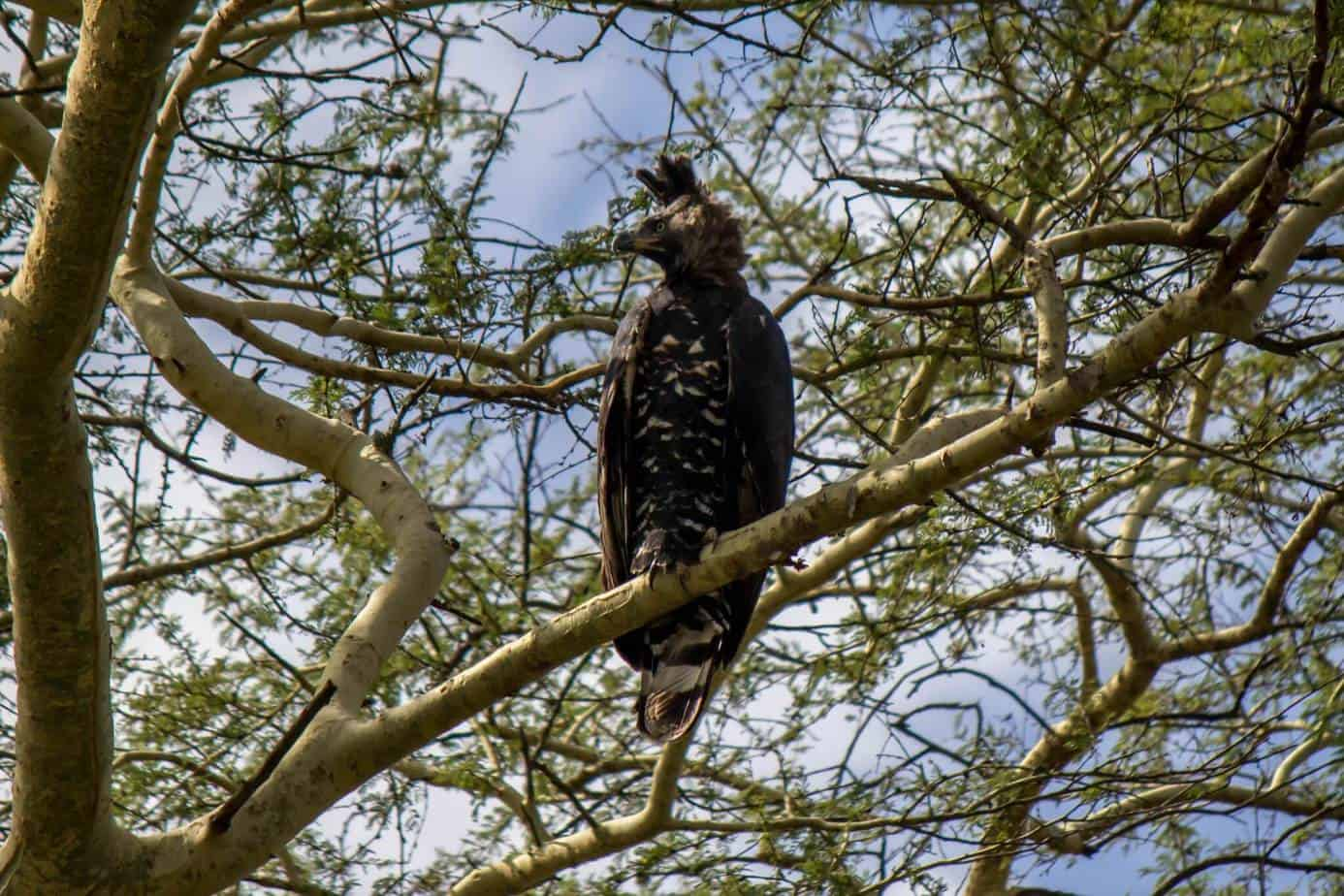 Crowned Eagle @ Ndumo Game Reserve. Photo: Håvard Rosenlund