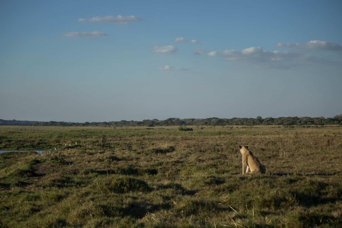 Lioness @ Tembe Elephant Park. Photo: Håvard Rosenlund