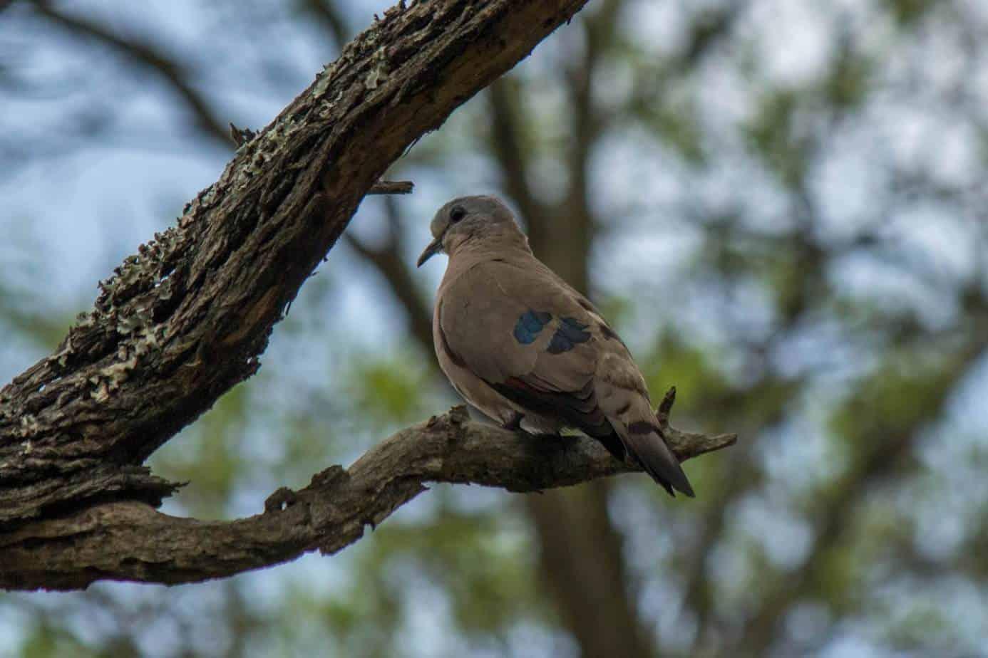 Emerald-Spotted Wood Dove @ Ndumo Game Reserve. Photo: Håvard Rosenlund