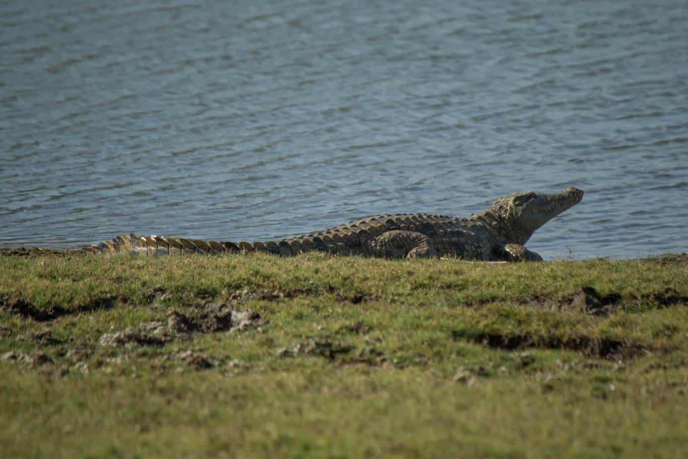 Nile Crocodile6