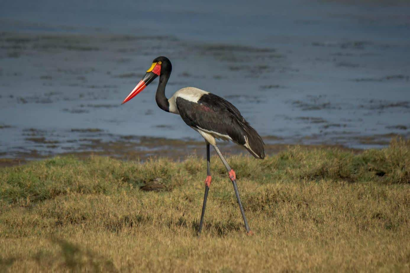Saddle-billed Stork @ Ndumo Game Reserve. Photo: Håvard Rosenlund