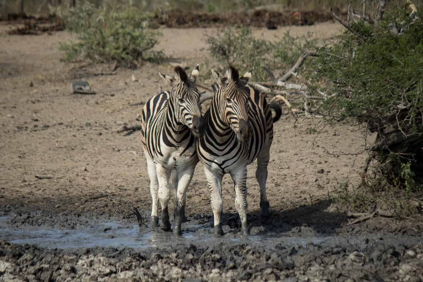 Plains Zebra7