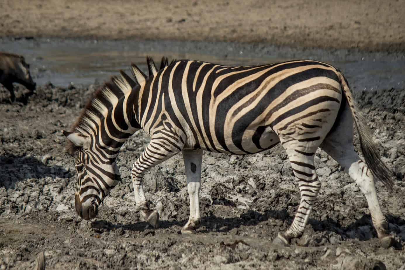 Plains Zebra11
