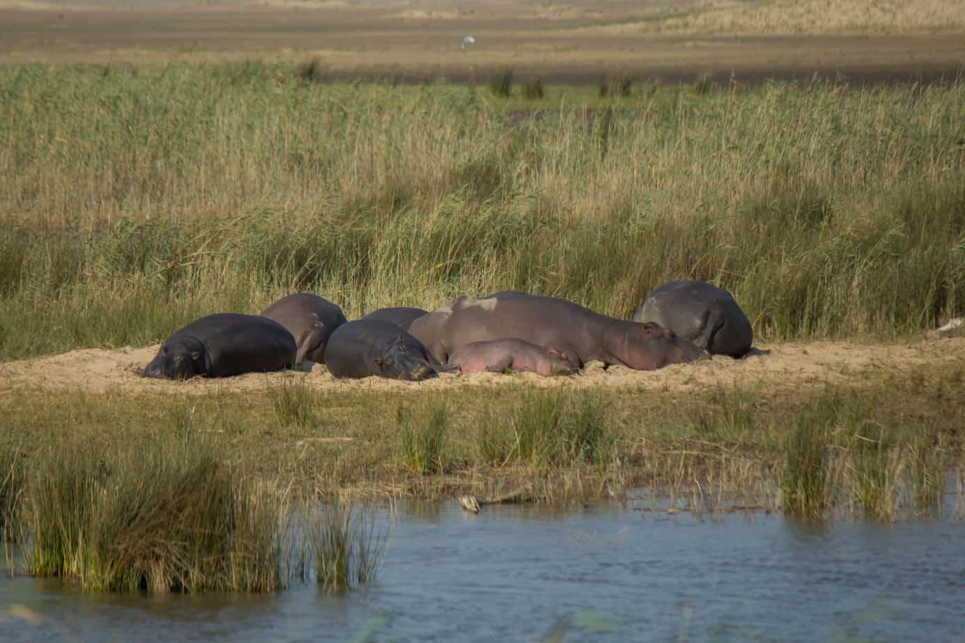 Hippo11