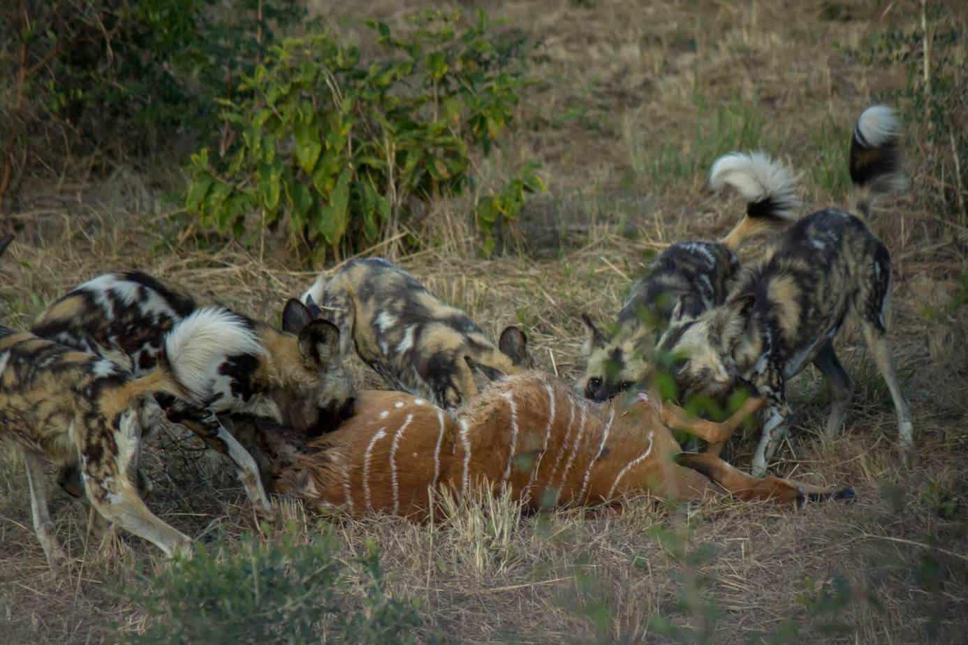 African Wild Dog4