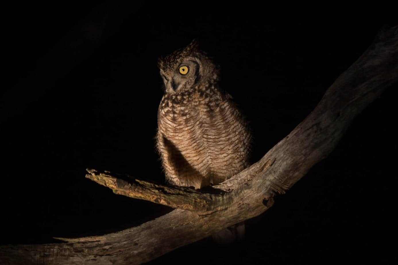Spotted Eagle-Owl @ Eastern Shores - iSimangaliso Wetland Park. Photo: Håvard Rosenlund