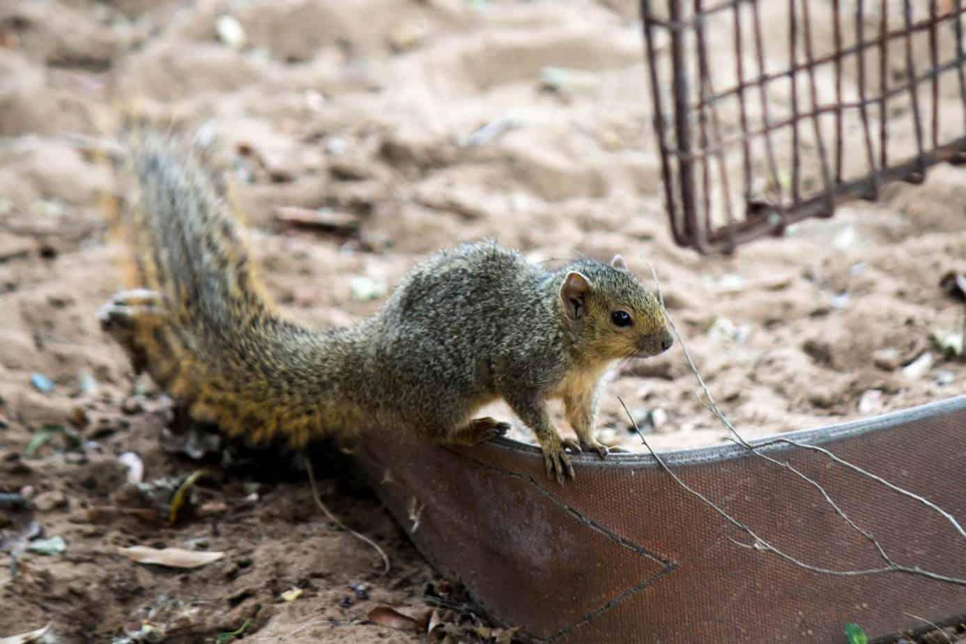 Red Bush Squirrel2