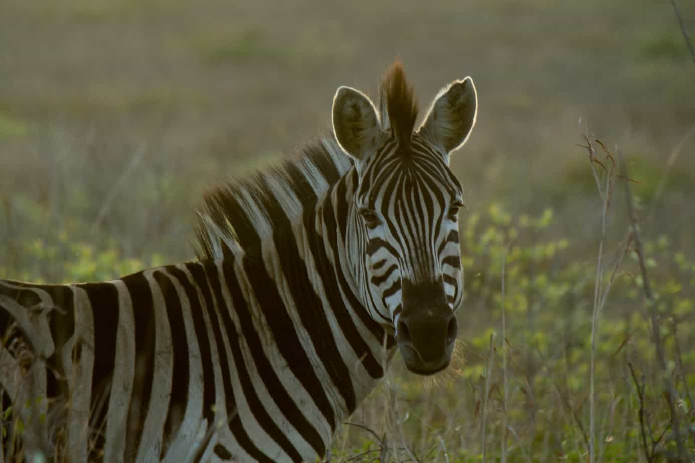 Plains Zebra @ Tembe Elephant Park. Photo: Håvard Rosenlund