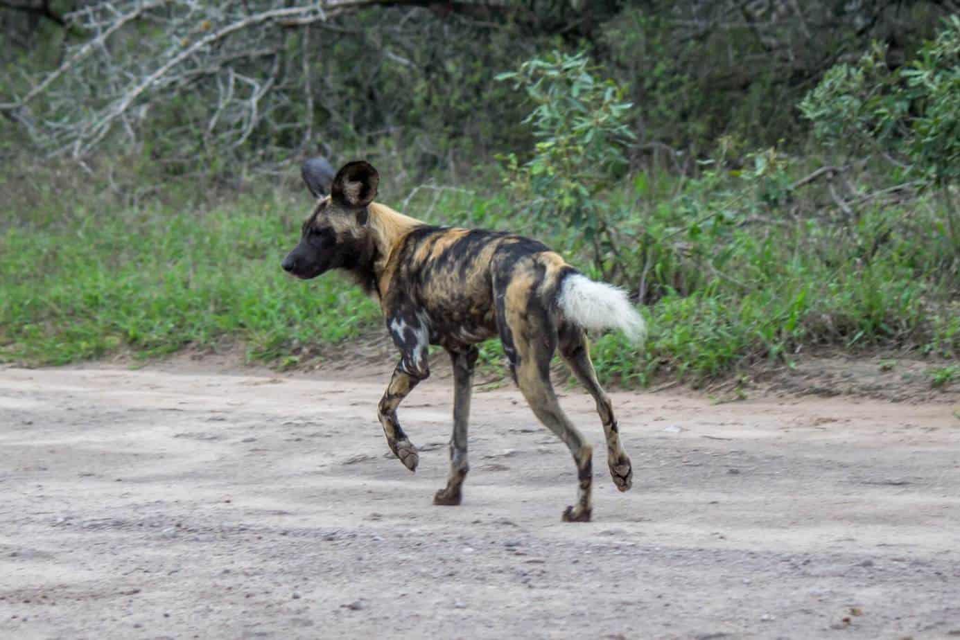 African Wild Dog5