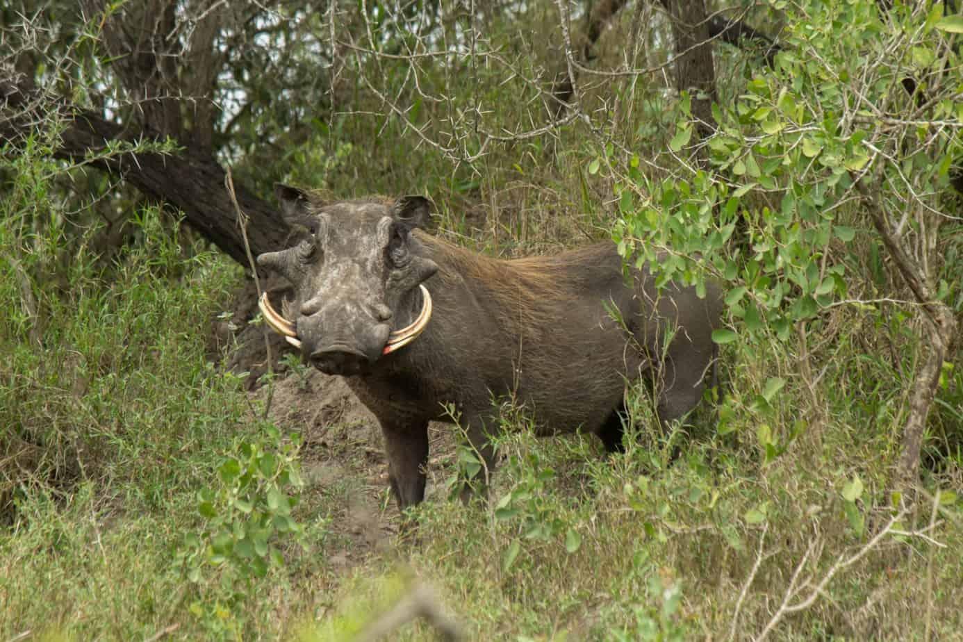 Common Warthog @ Tembe Elephant Park. Photo: Håvard Rosenlund