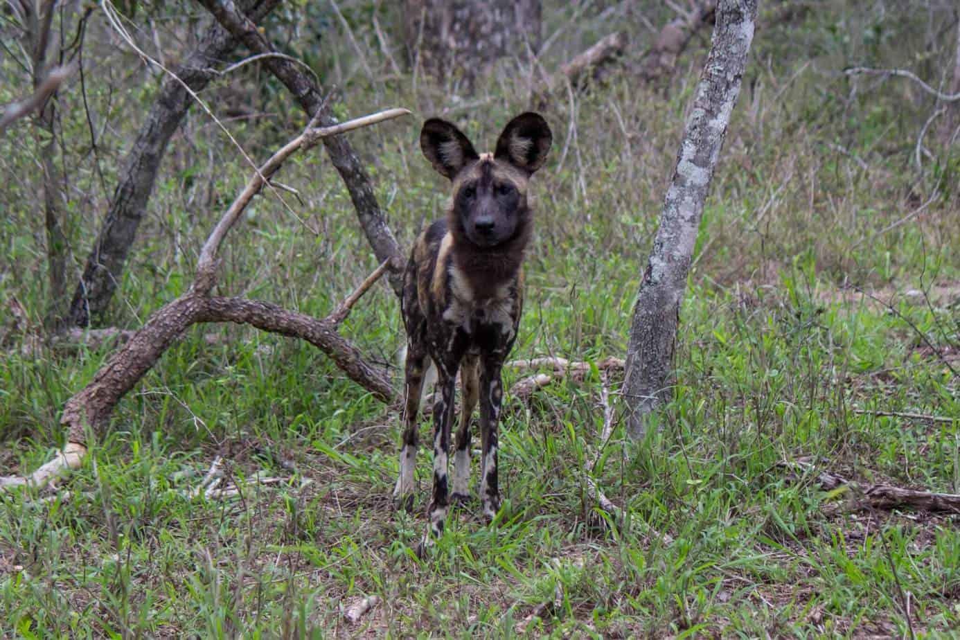 African Wild Dog8