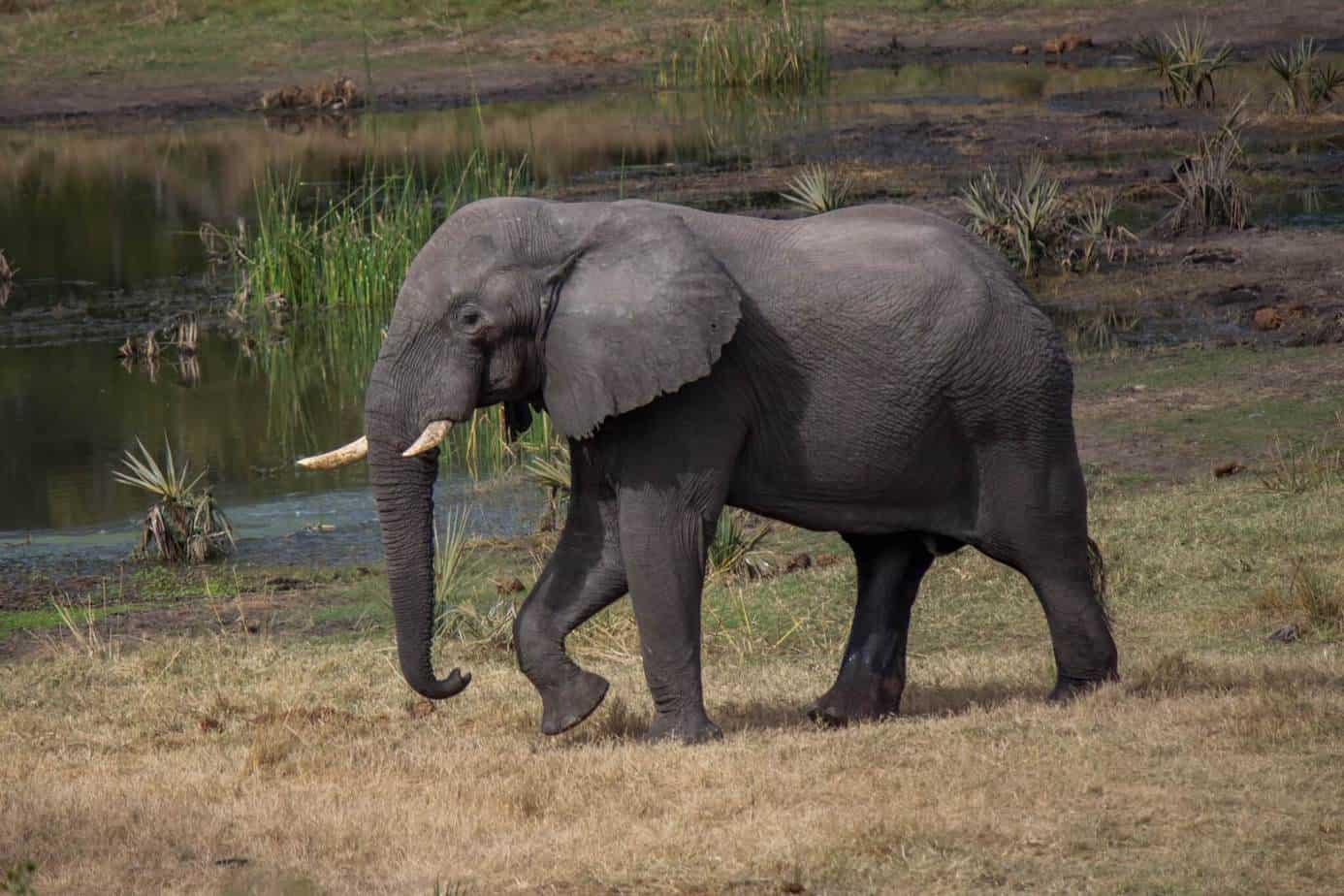 African Elephant10