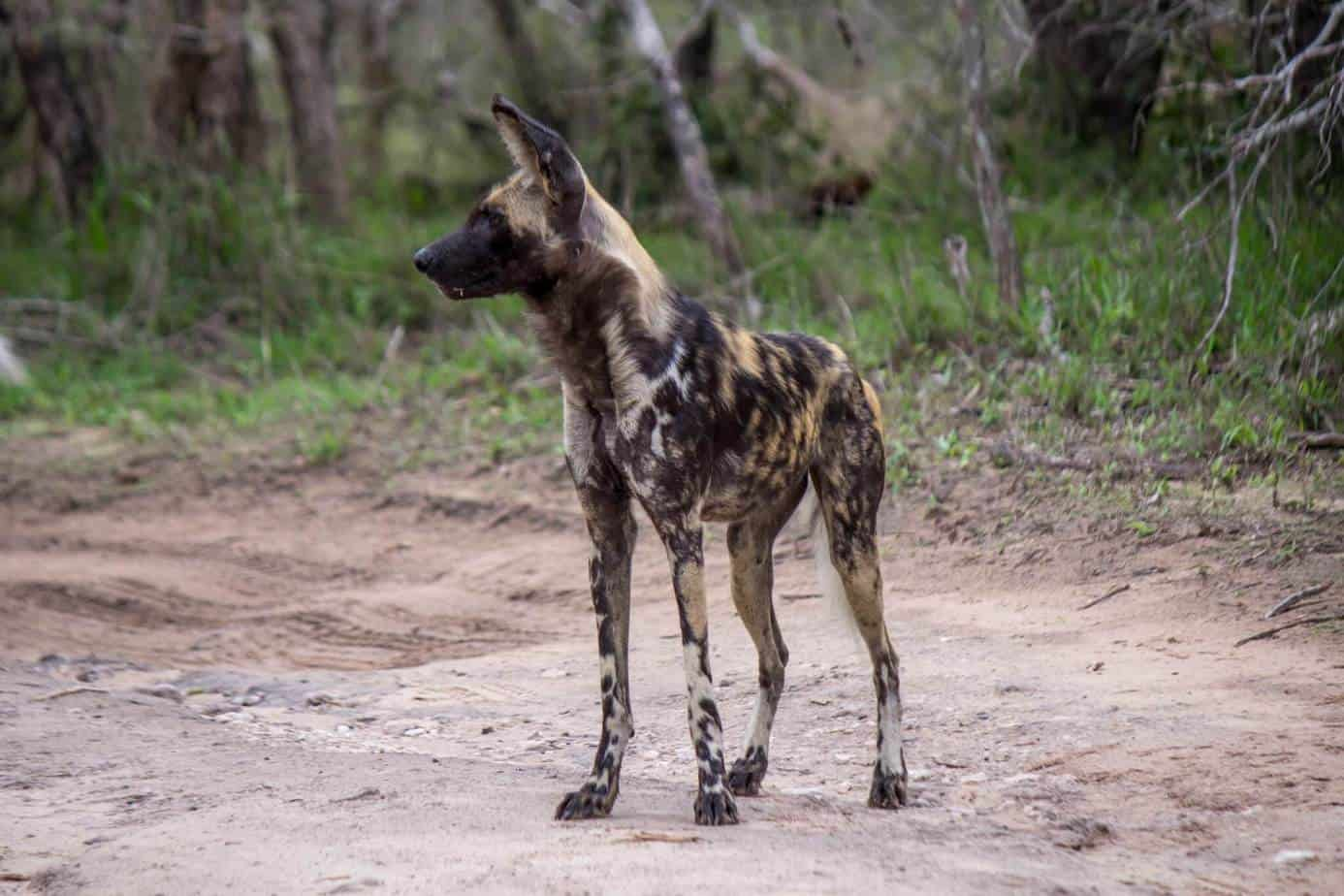African Wild Dog3