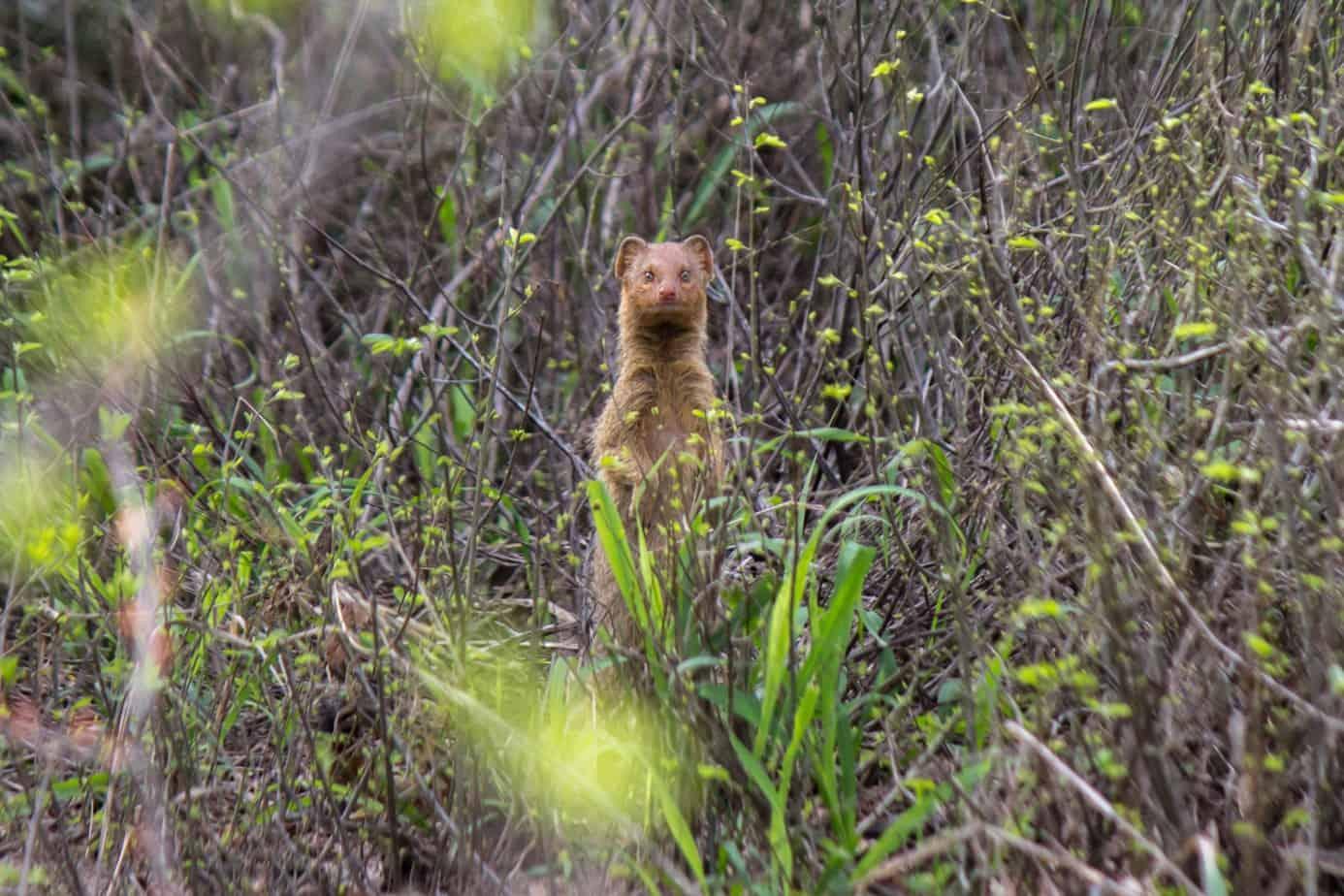 Slender Mongoose3