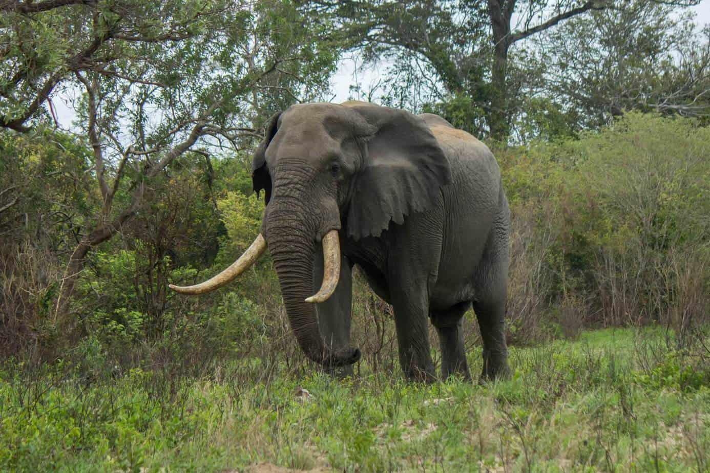 IMG 9542 - Tembe Elephant Park