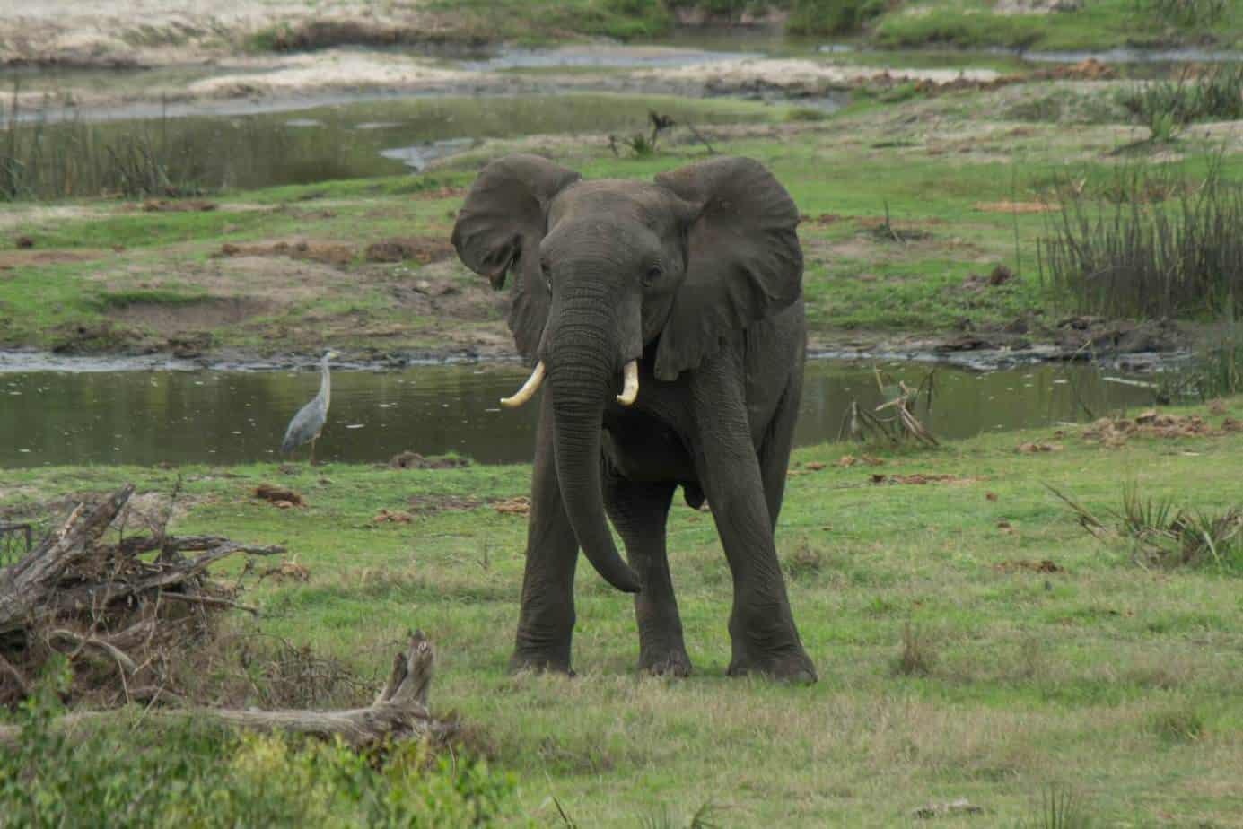 African Elephant12