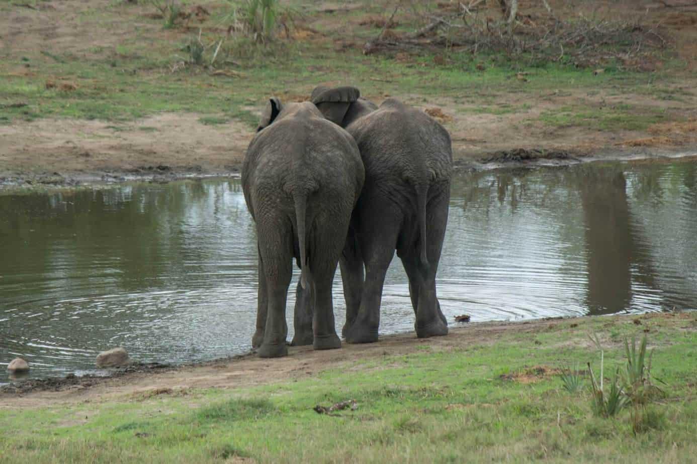 African Elephant7