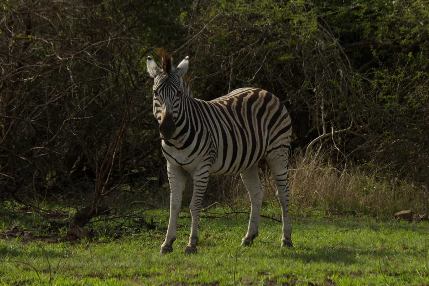 Plains Zebra14