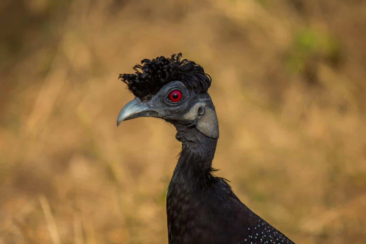 Southern Crested Guineafowl1