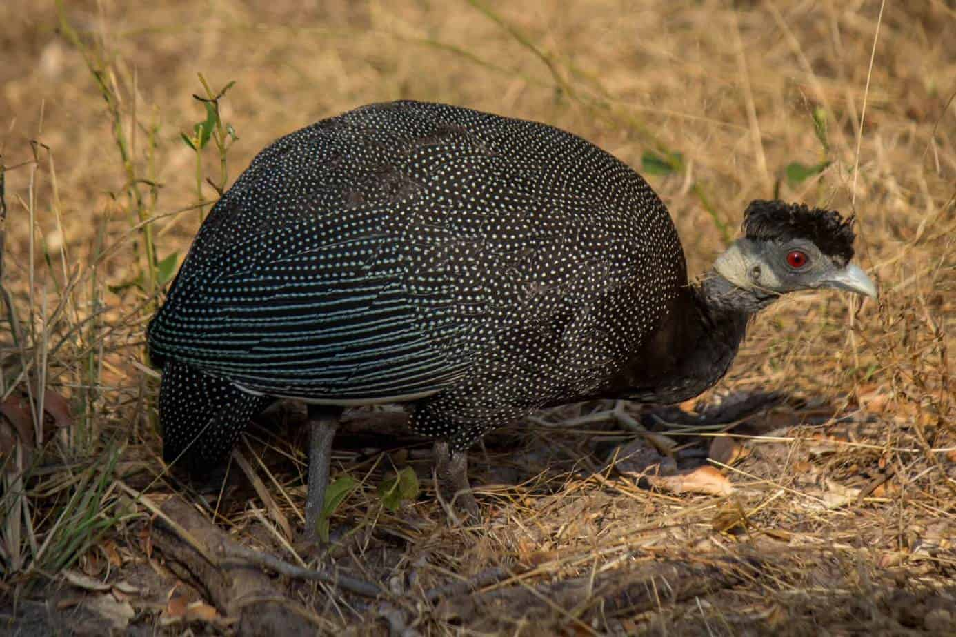 Southern Crested Guineafowl @ Tembe Elephant Park. Photo: Håvard Rosenlund
