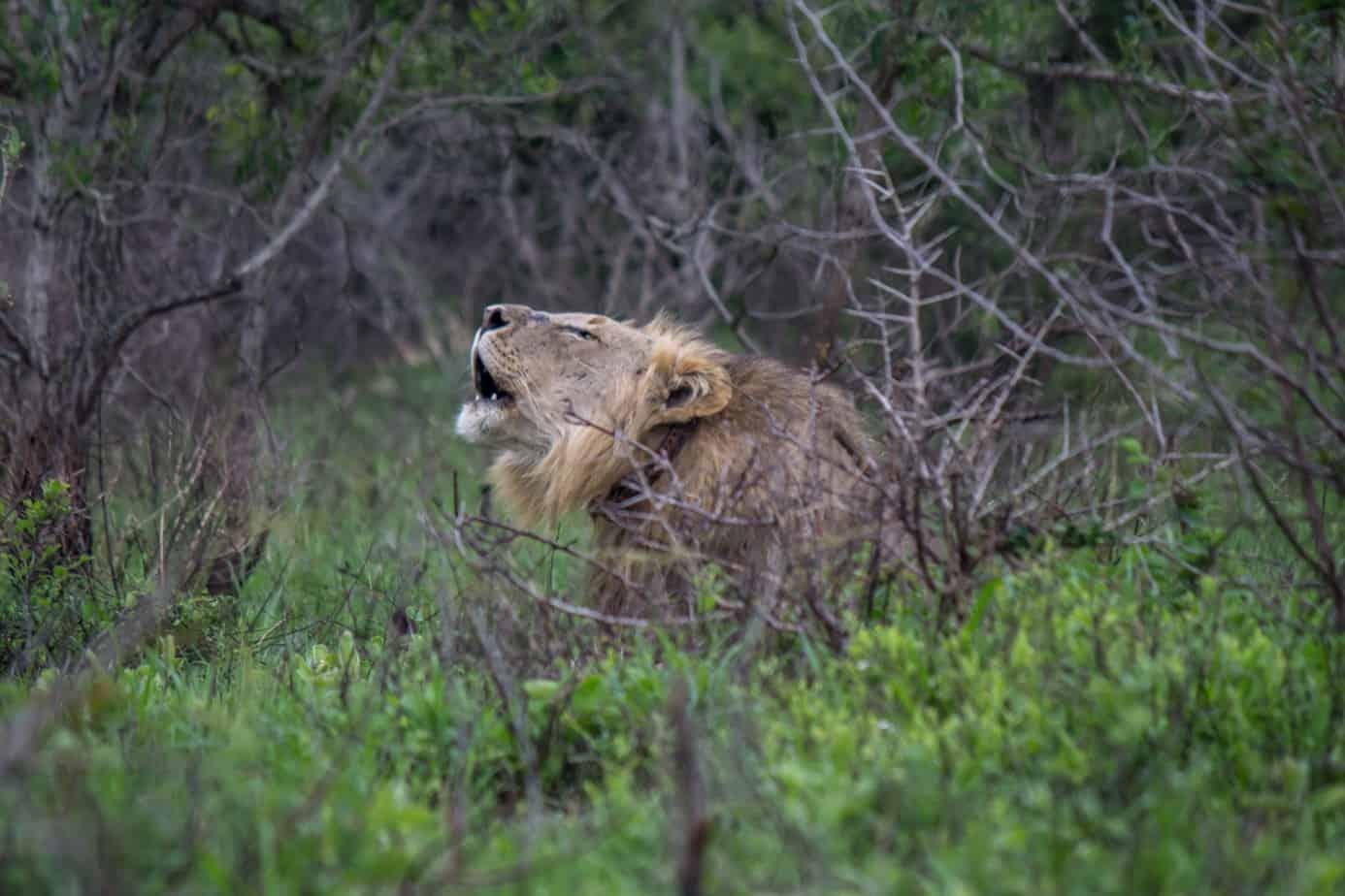 Lion26