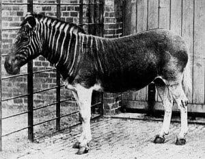 A quagga in London Zoo, and the only individual to ever be photographed