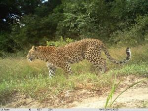 Leopard - Camera Trap @ Tembe Elephant Park
