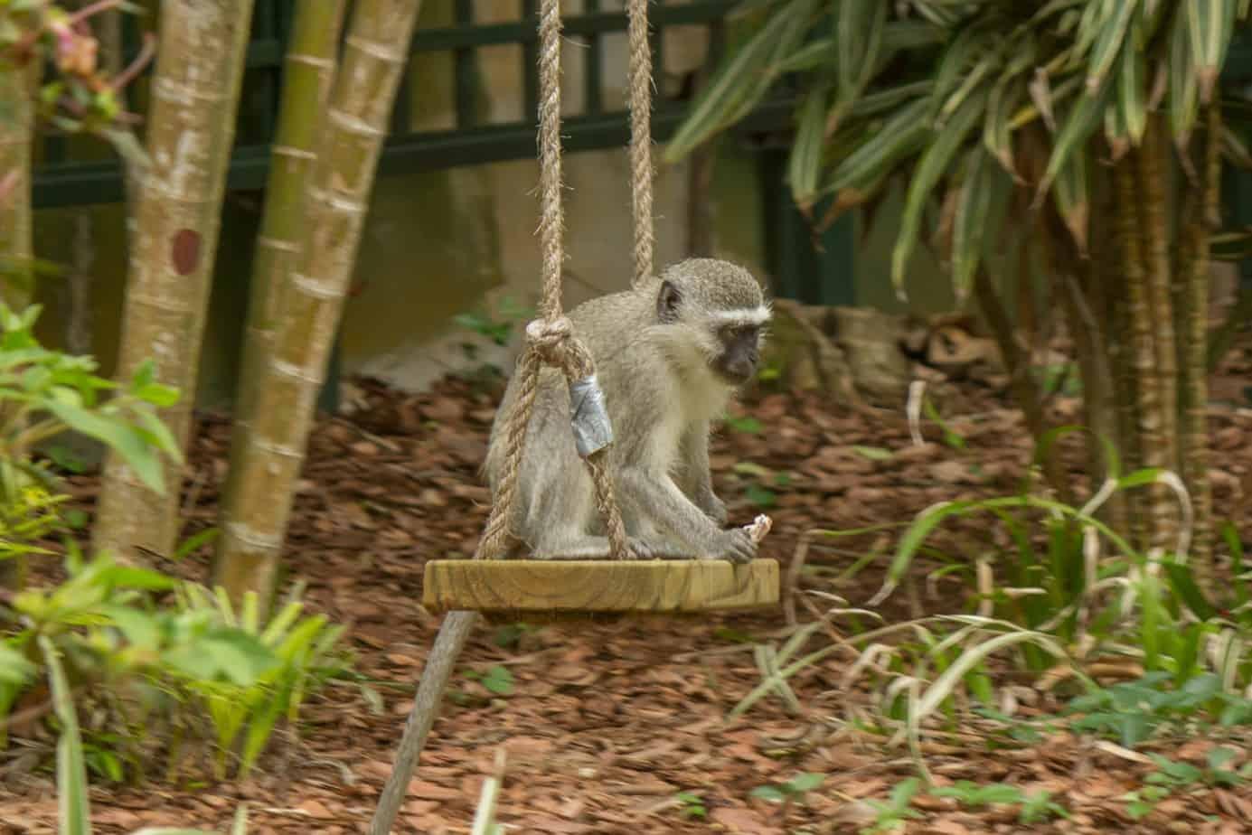 Vervet Monkey7