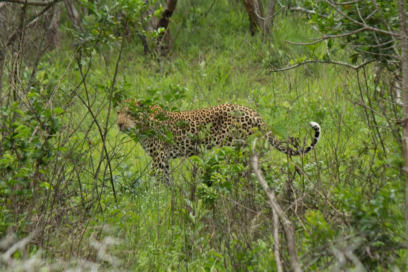 Leopard @ Eastern Shores - iSimangaliso Wetland Park. Photo: Håvard Rosenlund