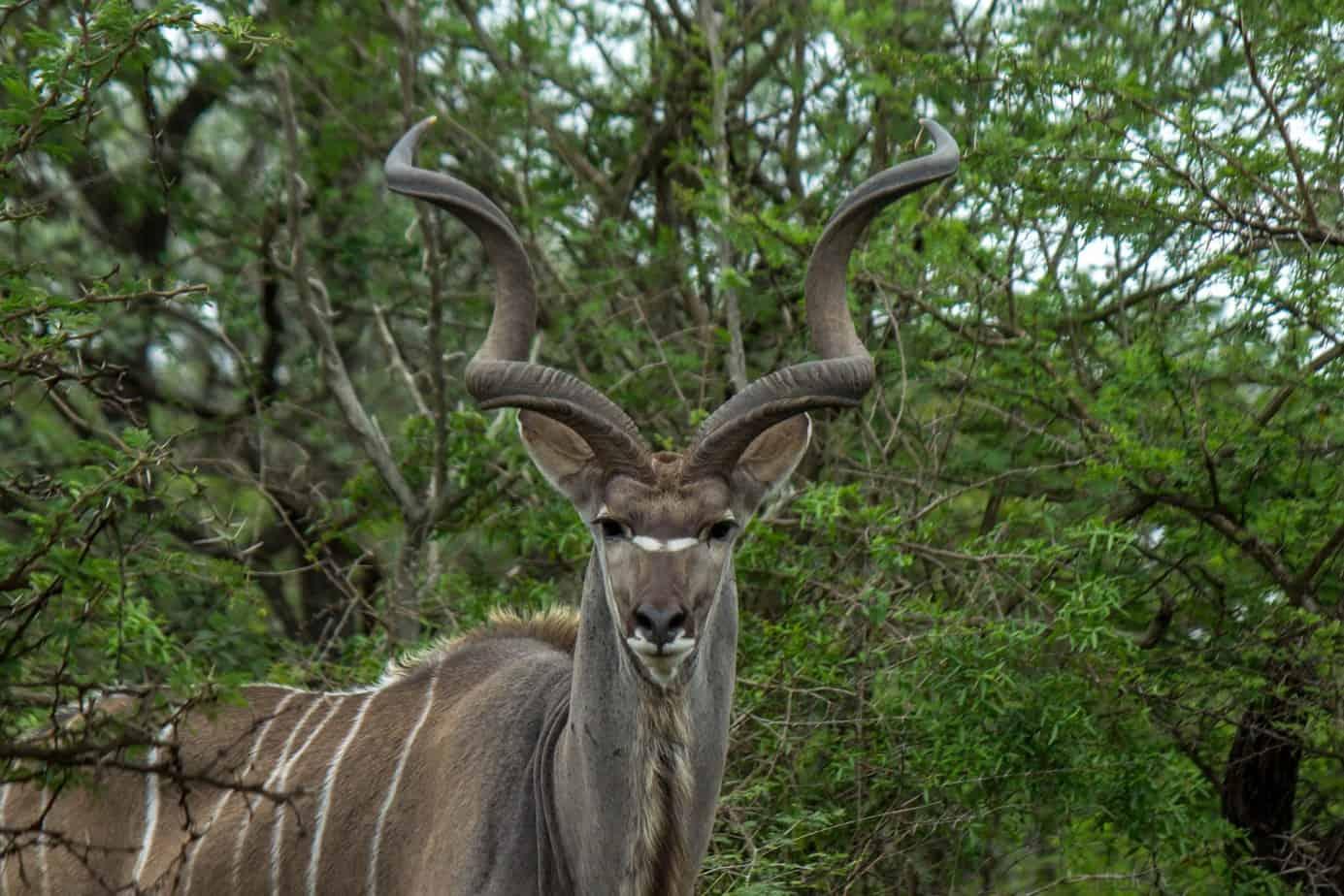 Greater Kudu1