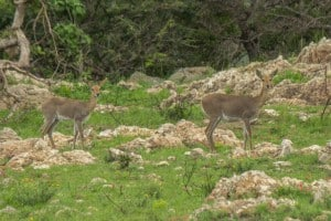 IMG 0502 300x200 - Mountain Reedbuck