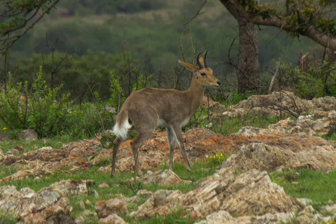 Mountain Reedbuck @ Munyawana Game Reserve. Photo: Håvard Rosenlund
