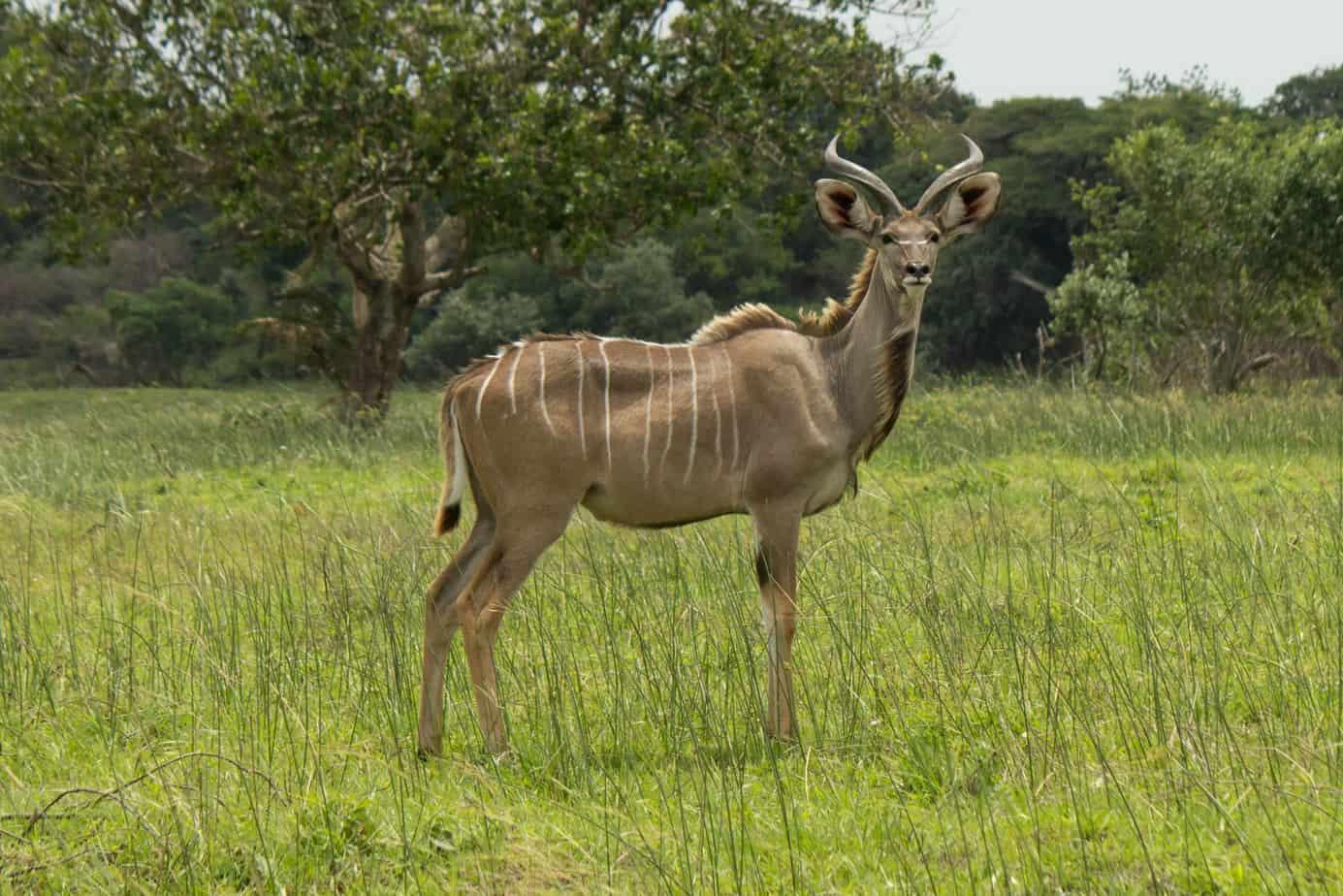 Greater Kudu6