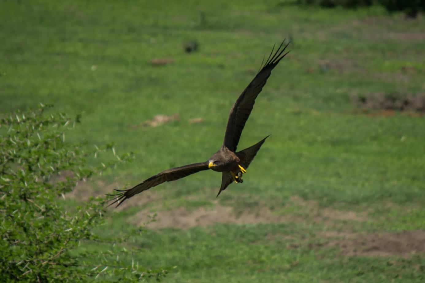 Yellow-Billed Kite3