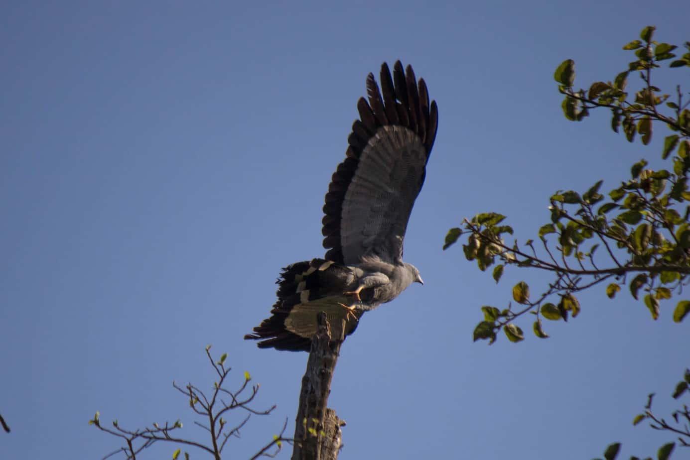 African Harrier-Hawk7