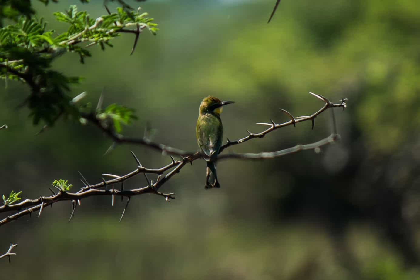 Little Bee-Eater2
