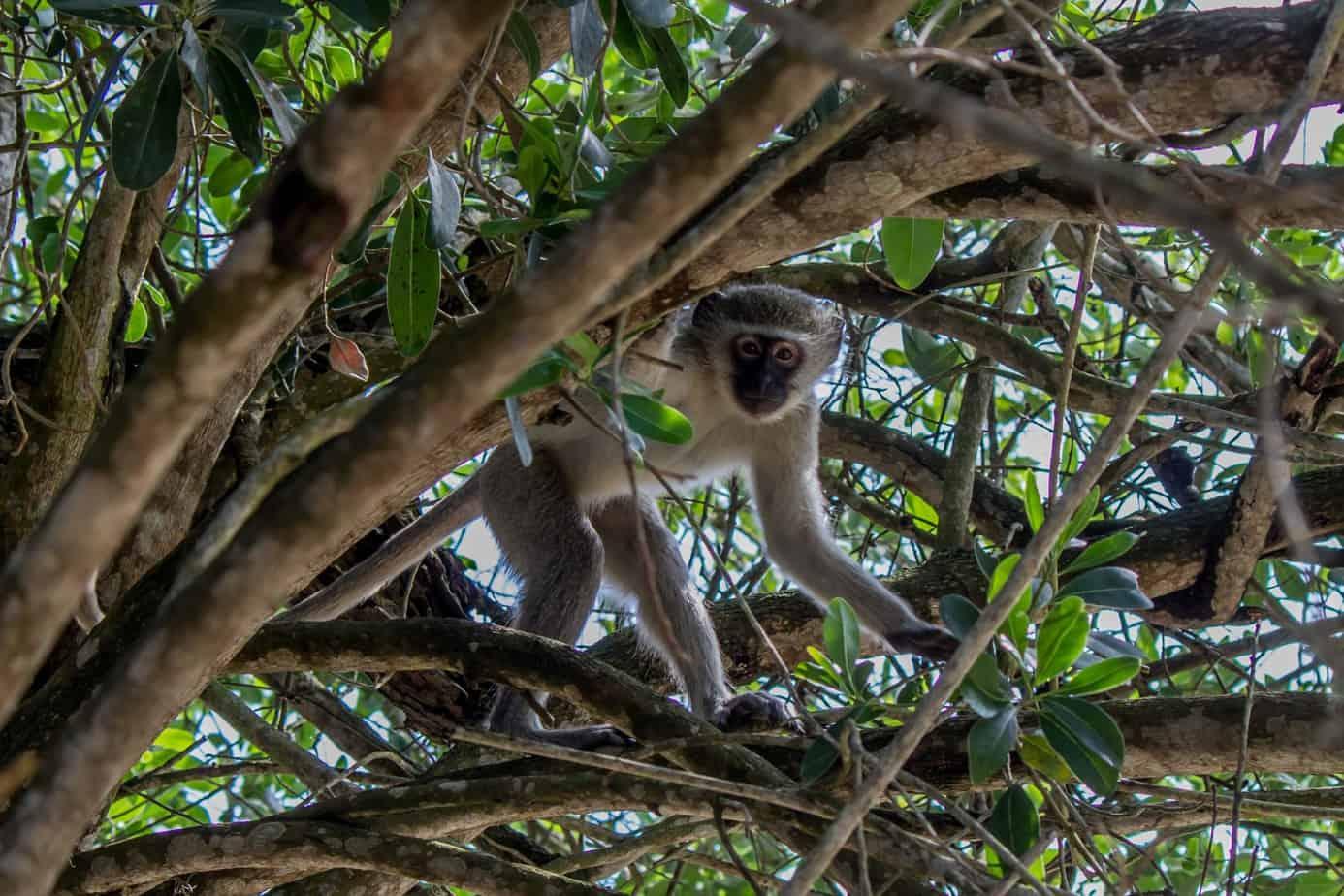 Vervet Monkey1