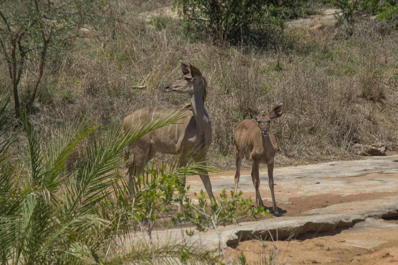 Greater Kudu11