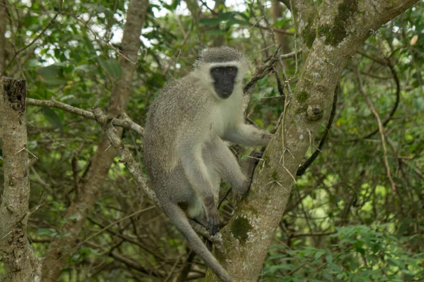 Vervet Monkey @ Eastern Shores - iSimangaliso Wetland Park. Photo: Håvard Rosenlund