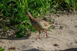 Crested Francolin @ Tembe Elephant Park. Photo: Håvard Rosenlund