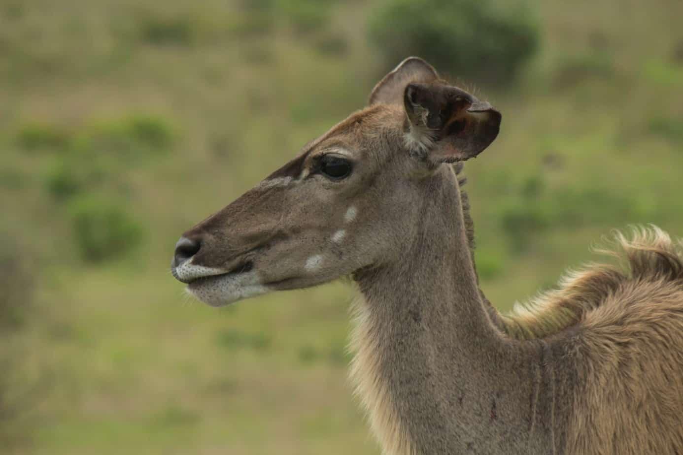 Greater Kudu9