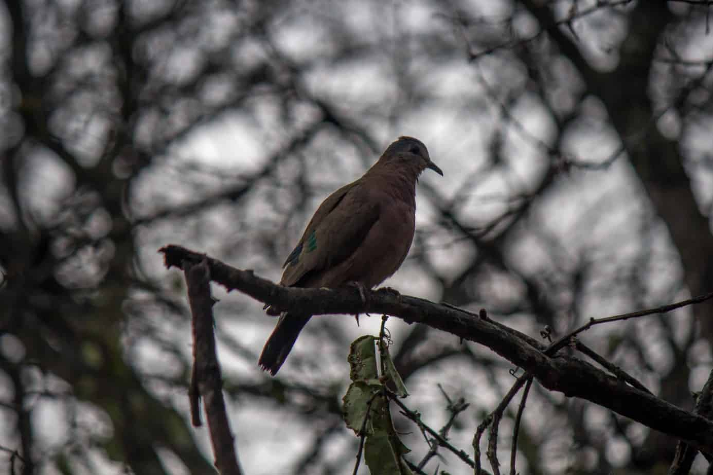 Emerald-Spotted Wood Dove5