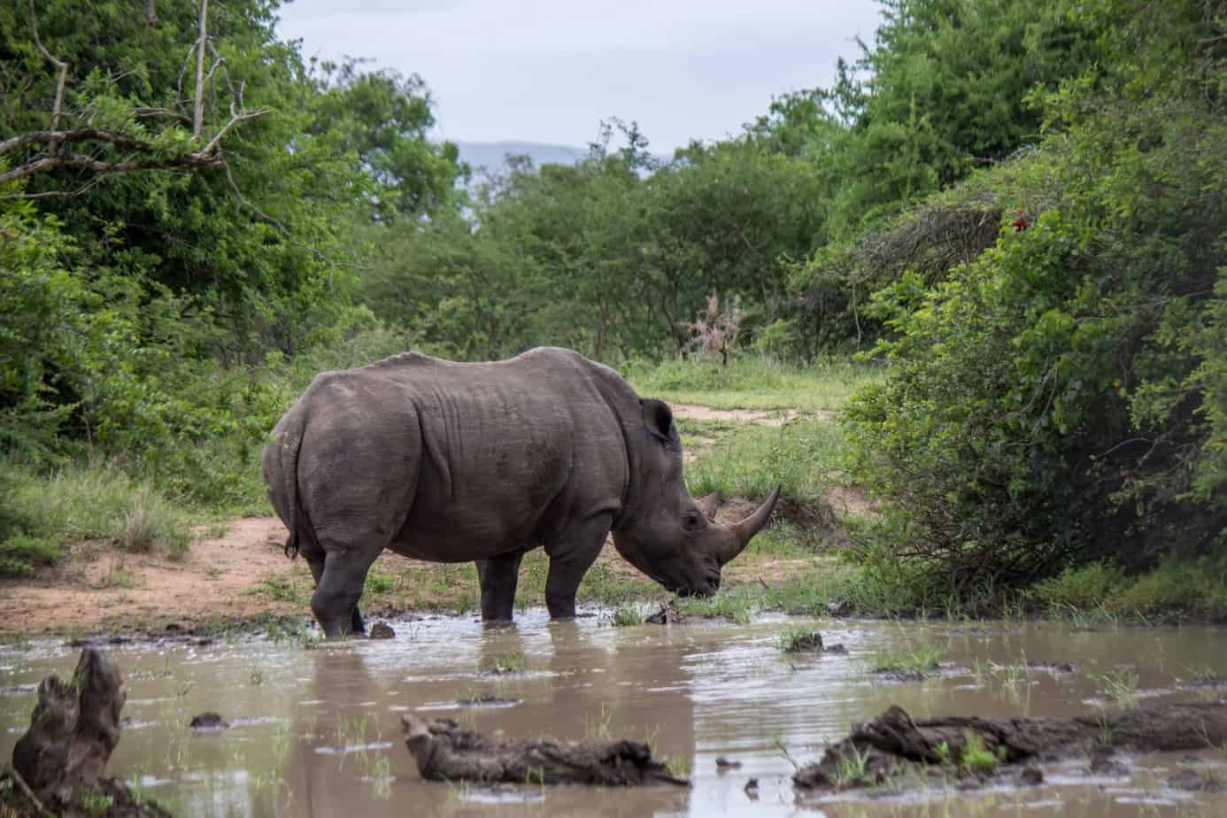 White Rhinoceros12