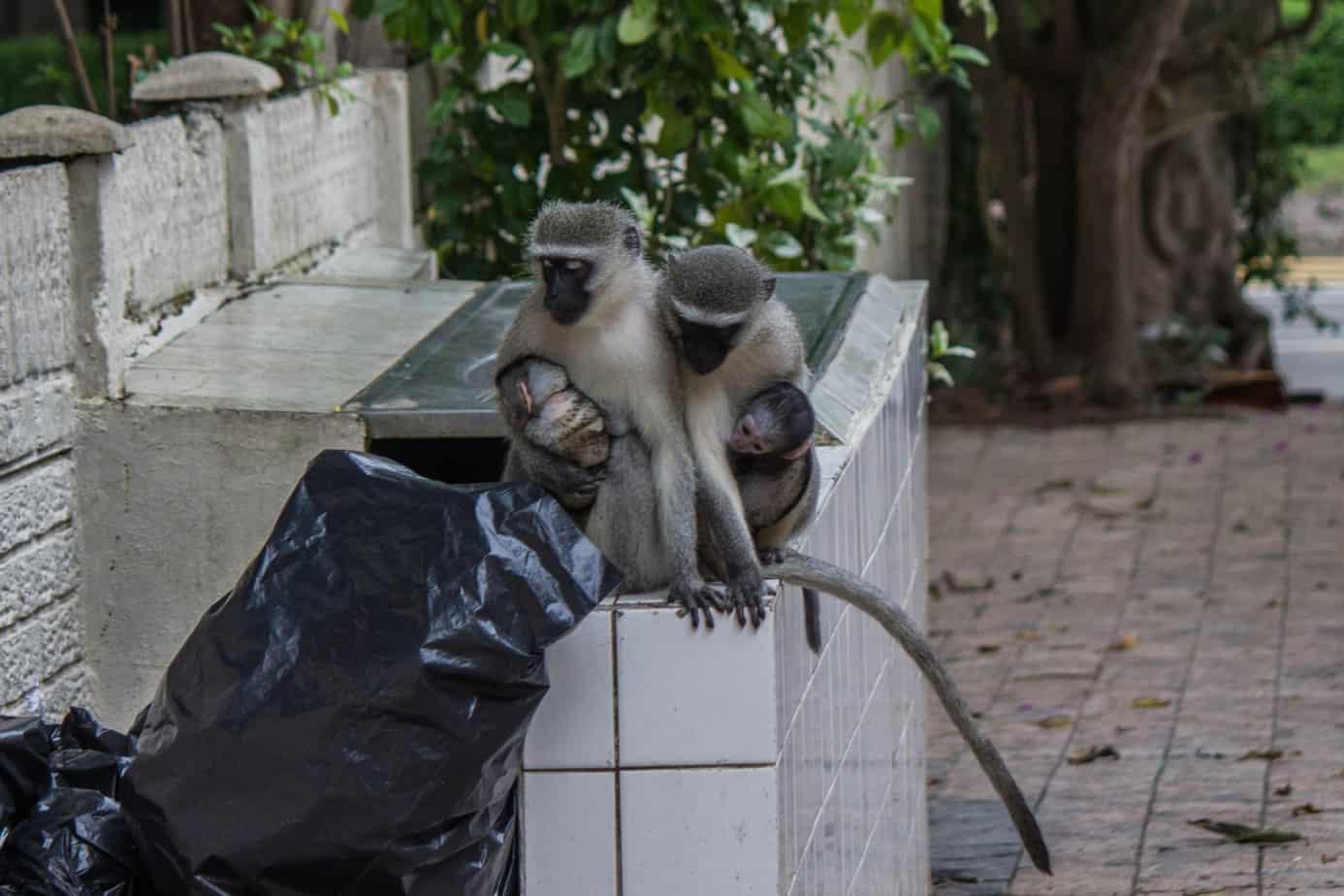 Vervet Monkey13