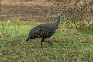 Helmeted Guineafowl @ Ndumo Game Reserve. Photo: Håvard Rosenlund
