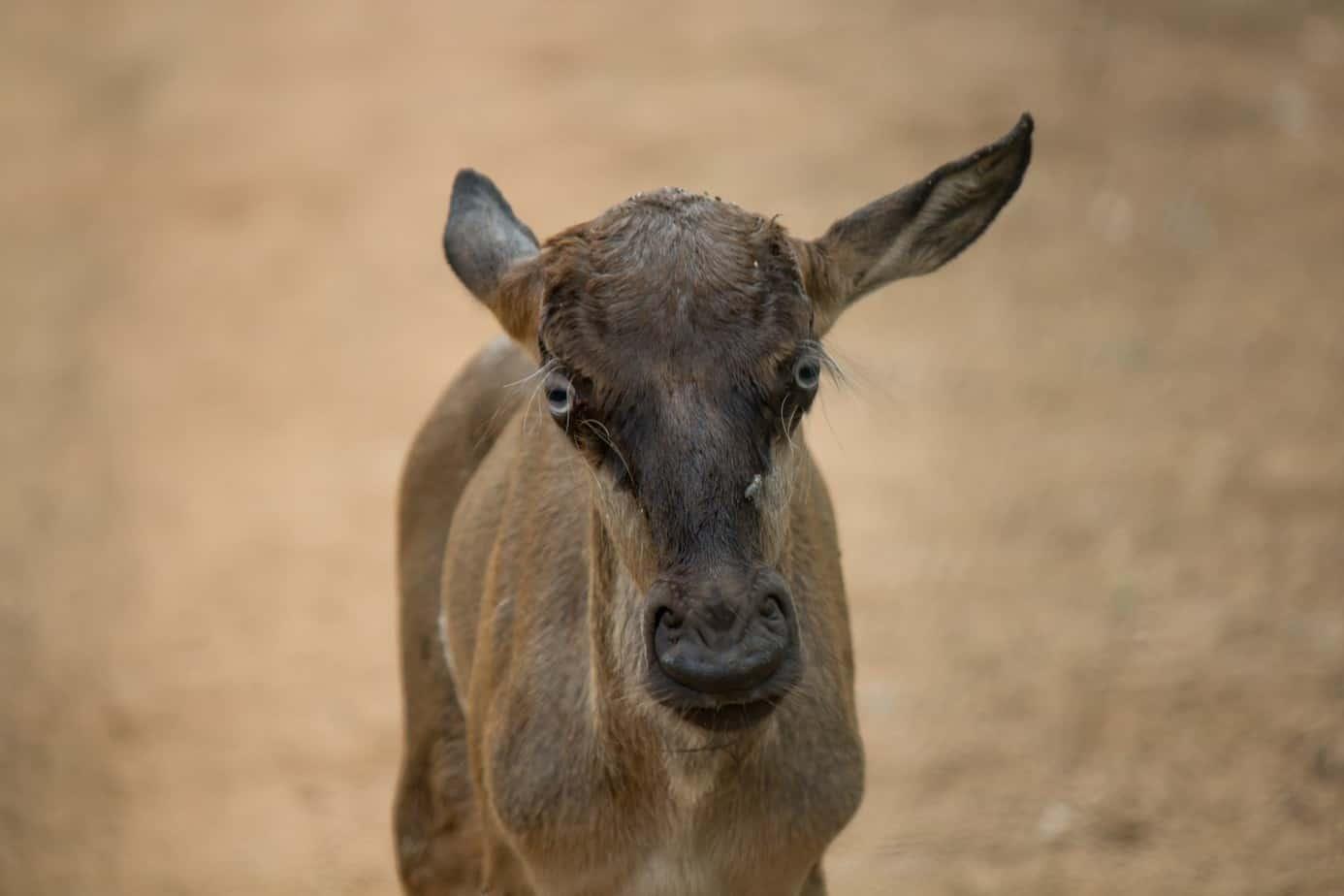 Blue Wildebeest2