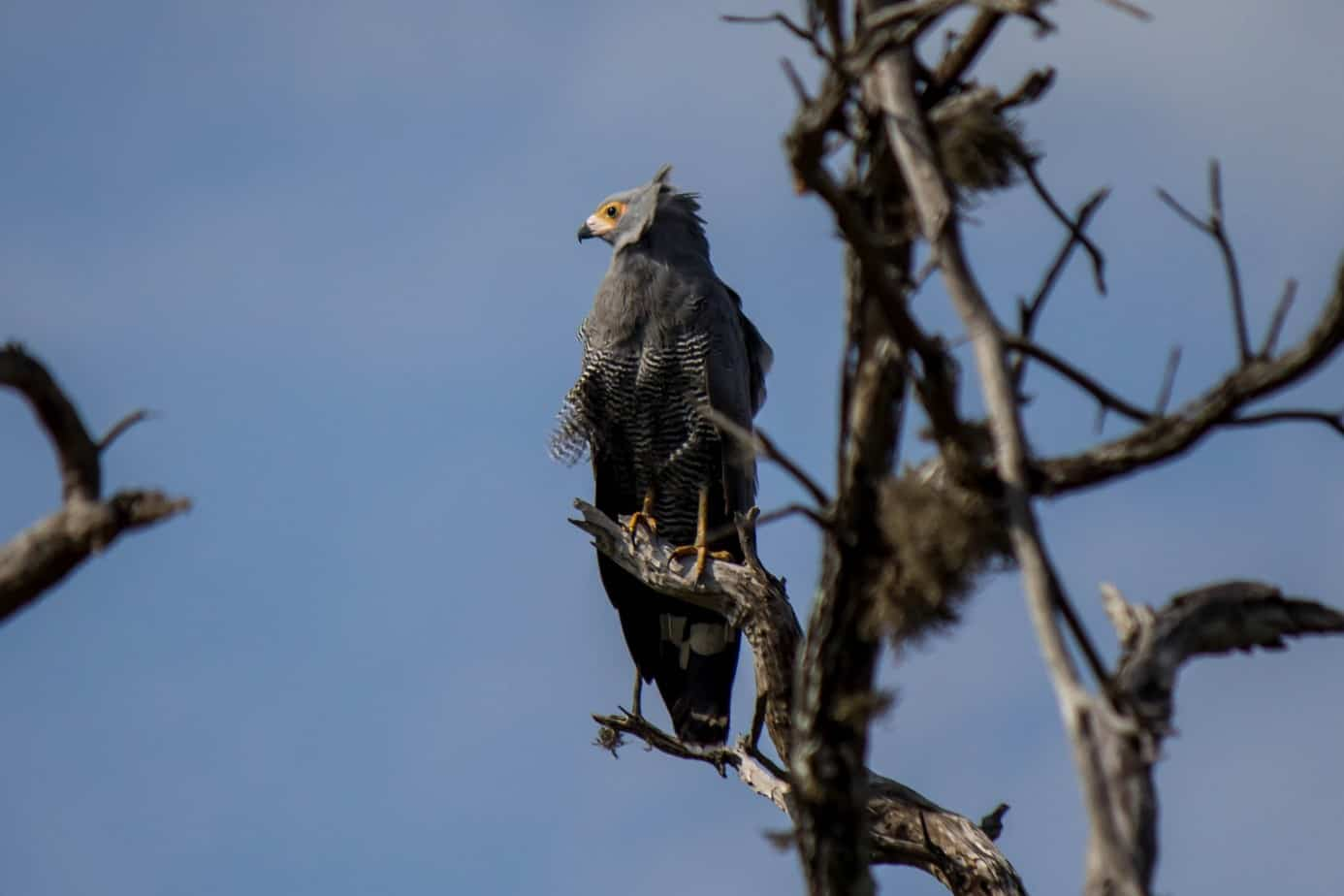 Klatrehauk @ Ndumo Game Reserve, Sør-Afrika. Foto: Håvard Rosenlund