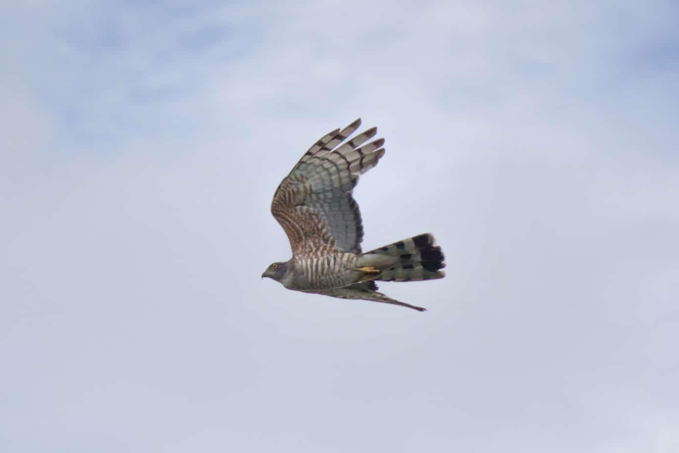 African Cuckoo-Hawk1