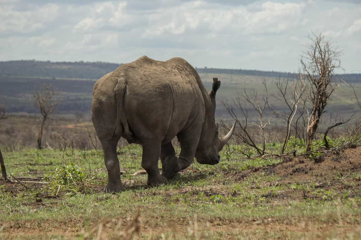 White Rhinoceros11