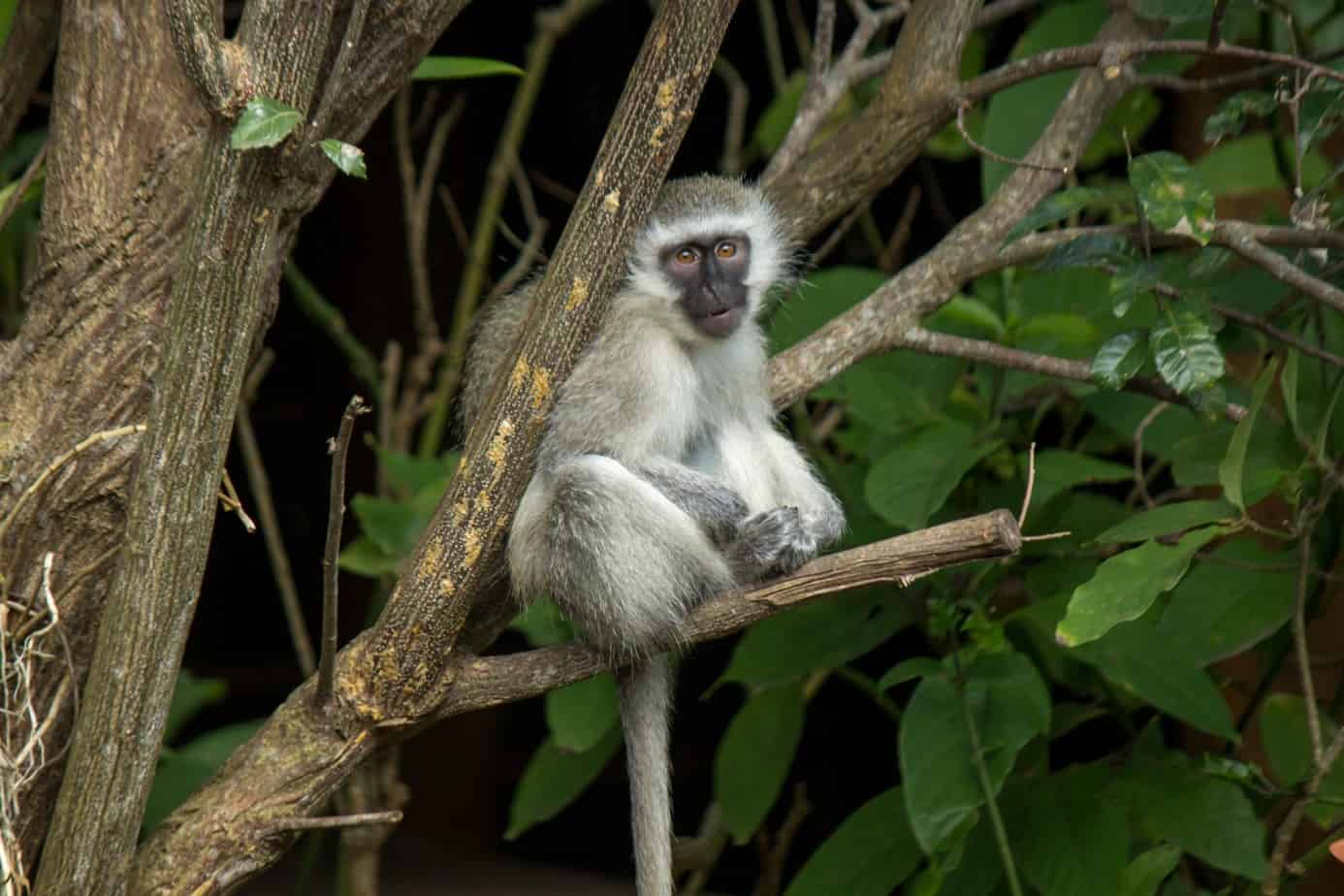 Vervet Monkey12